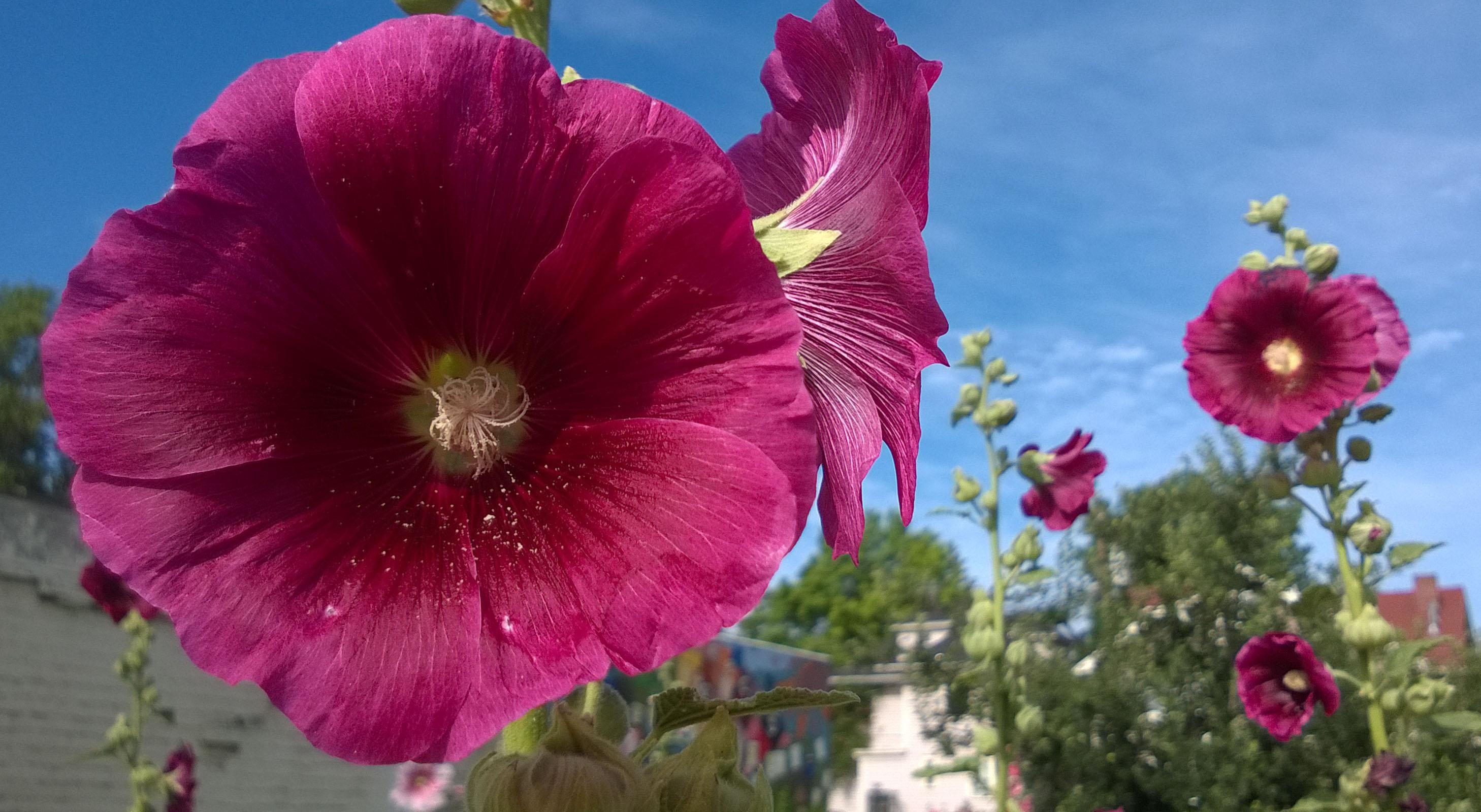 purplish-red hibiscus